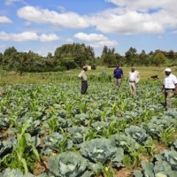 cabbages-grown-on-a-section-of-matwikus-piece-of-land